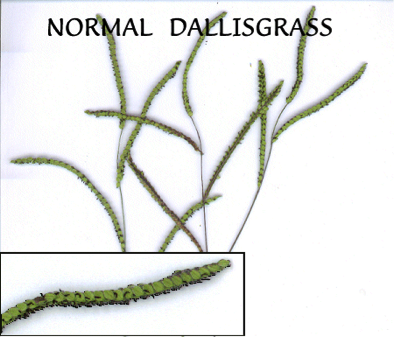 Normal Dallisgrass seed head not infected by an ergot-like fungus.